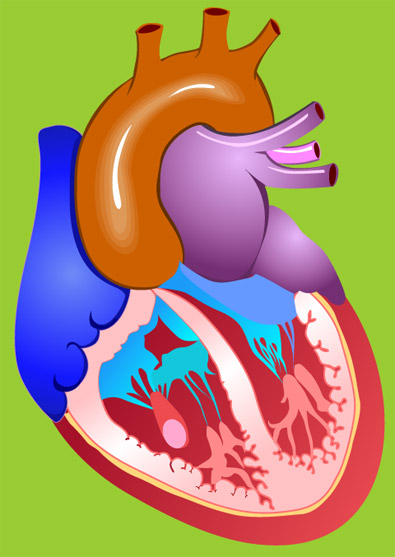 Heart Medical Illustrations